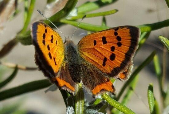 Mariposa Lycaena phlaeas macho